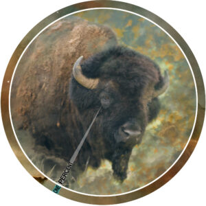 What is this Animal: Bison, Buffalo, Beefalo or Cattalo