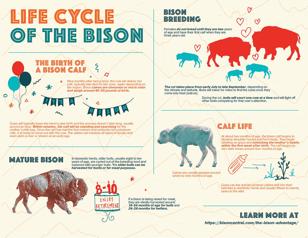 Life-Cycle-of-the-Bison